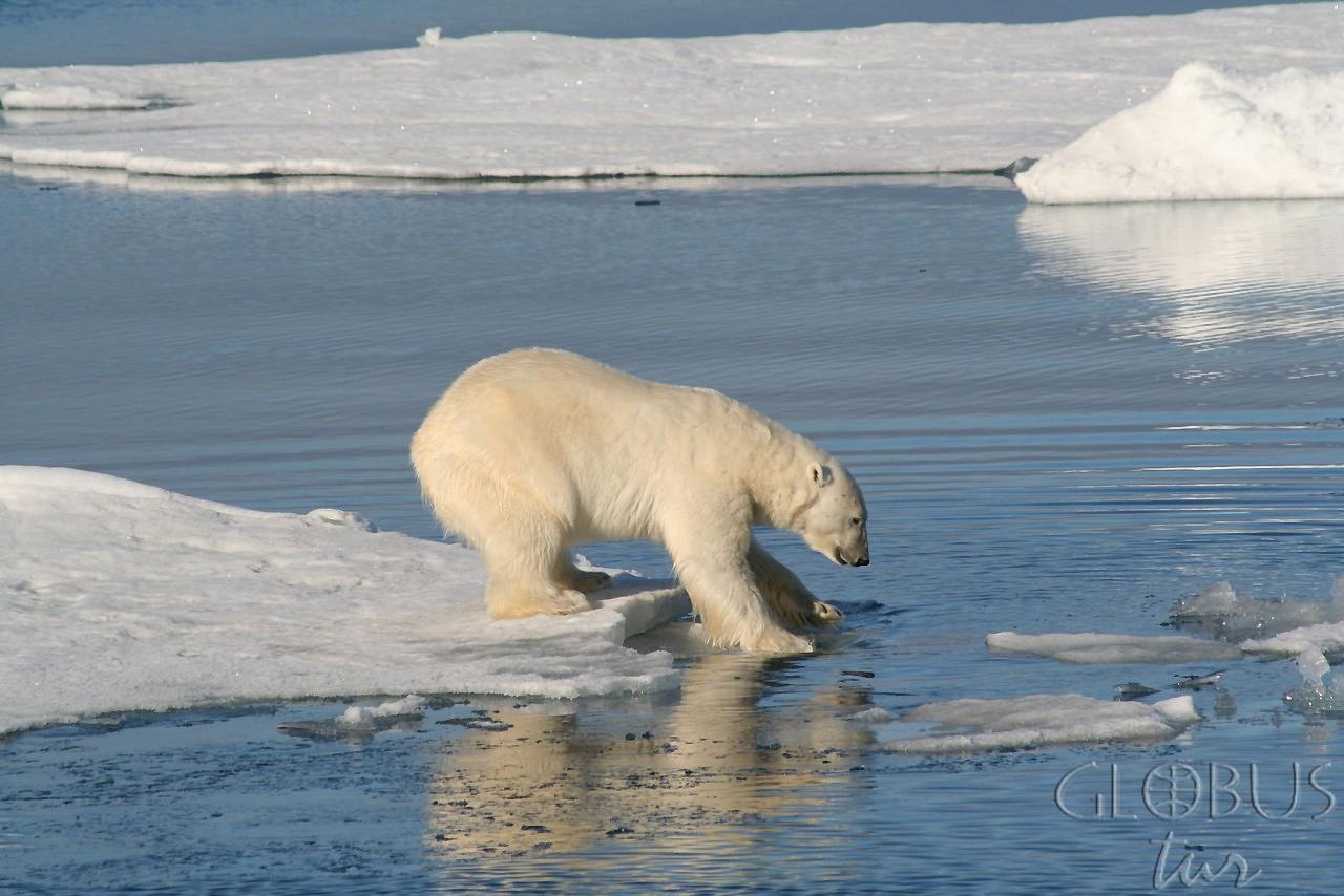 антарктида с белыми медведями видео