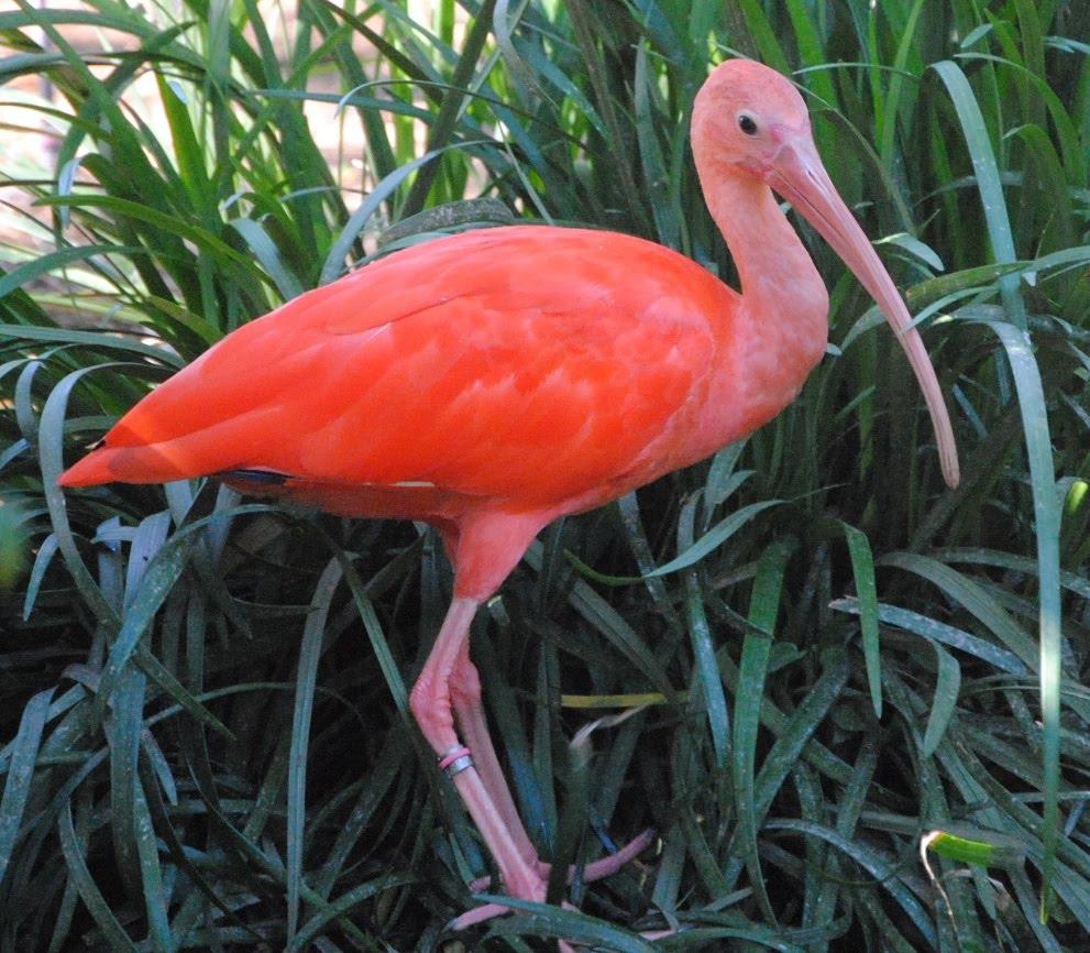 Scarlet ibis literary analysis essay