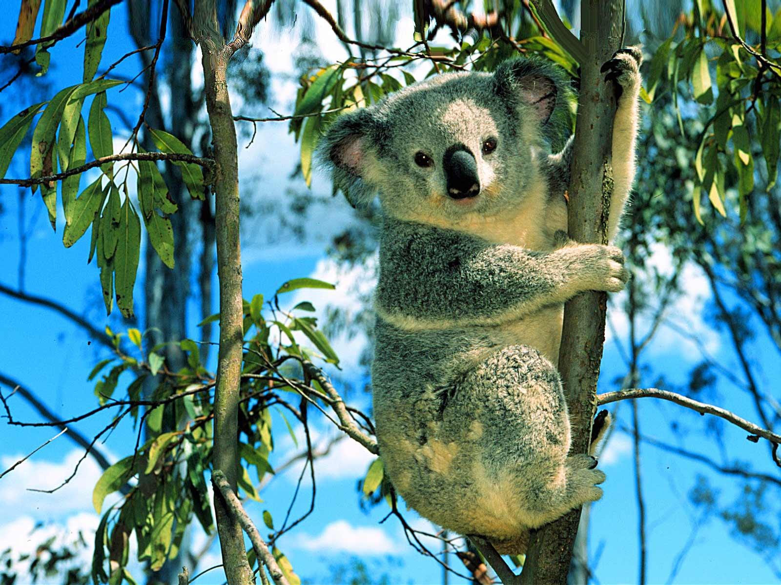 Сексуальные коалы картинки 14 фотография